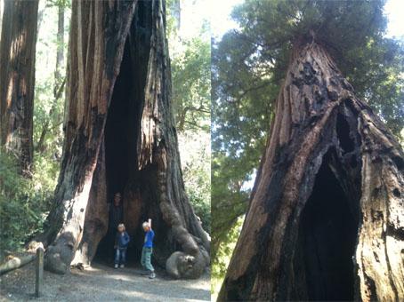 Disse redwoodtrærne kan bli over 100 meter høye, og greier allikevel å dra vann helt opp til de øverste bladene sine.