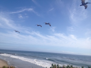 Pelikaner på campus.