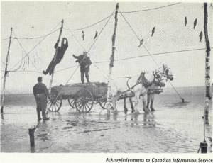 """Den store tidevannsforskjellen i Bay of Fundy har gitt opphav til spesielle fiskemetoder. (Bilde fra Macmillans """"Tides"""", 1966)"""