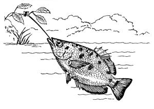 Skytterfisken. Bilde: Wikimedia Commons