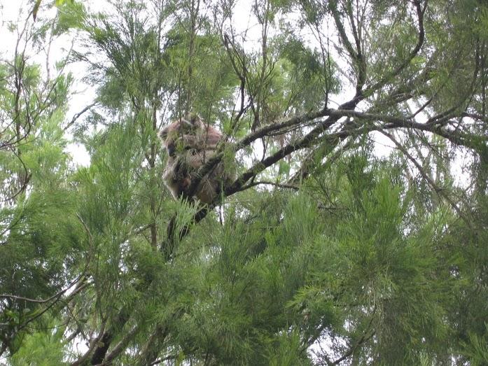Jeg tror dessverre ikke at jeg har lov til å kopiere det fine termiske koalabildet fra Science over til min egen blogg, så jeg får nøye meg med mitt eget koalablinkskudd igjen.